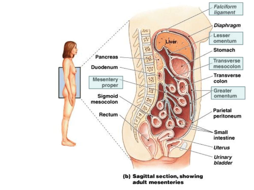 medium resolution of diagram of mesentery