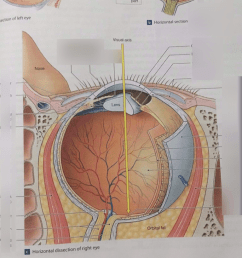 diagram of eye and nose [ 768 x 1024 Pixel ]
