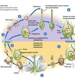 flowering plant life cycle [ 1024 x 768 Pixel ]
