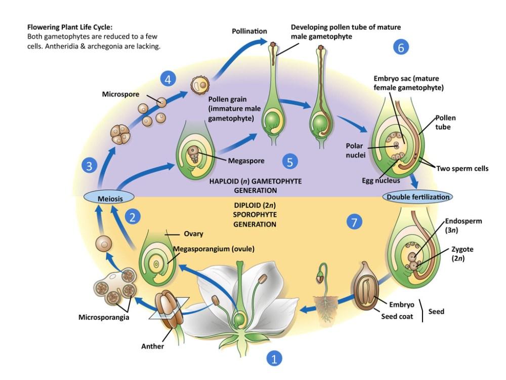 medium resolution of flowering plant life cycle