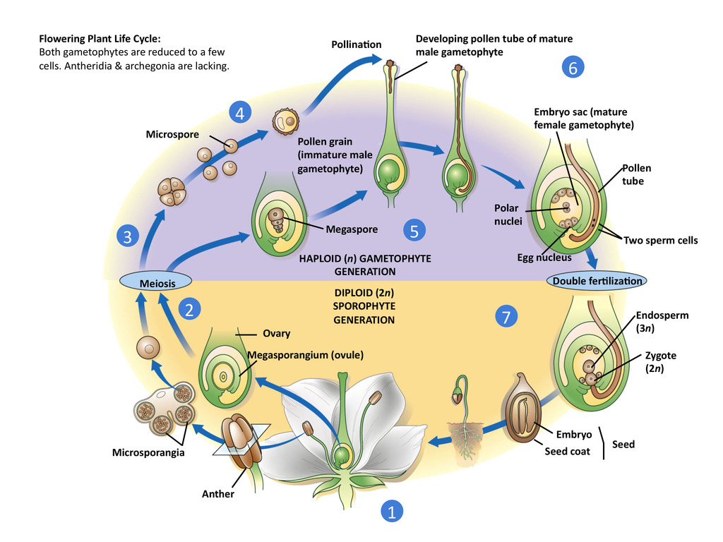 hight resolution of flowering plant life cycle
