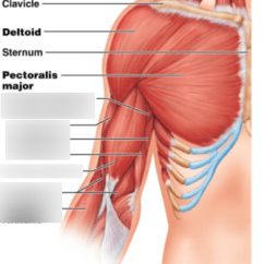 Upper Arm Muscles Diagram One Room Electrical Wiring Anterior Quizlet Location