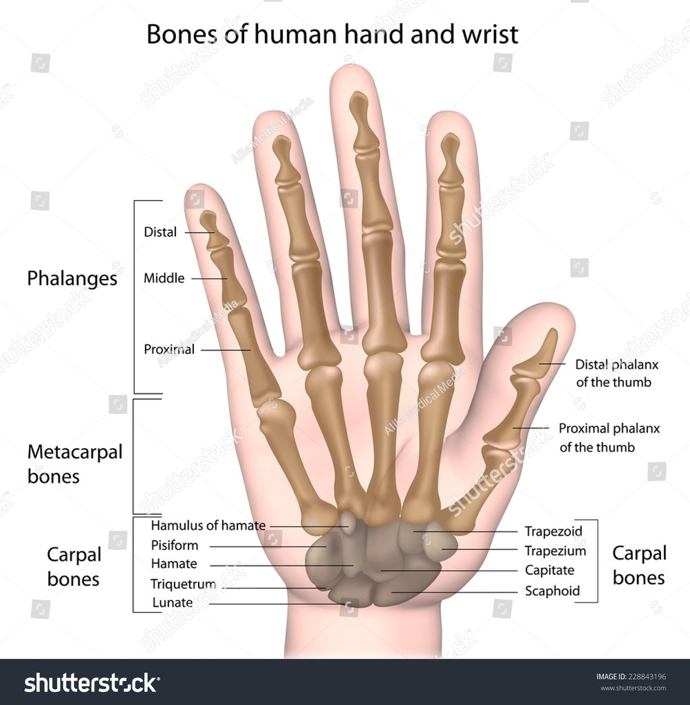 hight resolution of diagram of hand