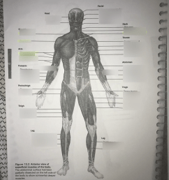 anterior view of superficial muscles of the body [ 768 x 1024 Pixel ]