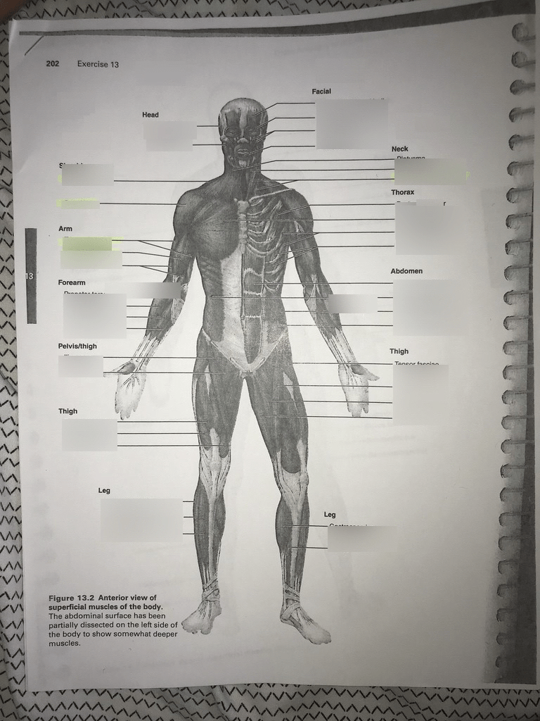 hight resolution of anterior view of superficial muscles of the body