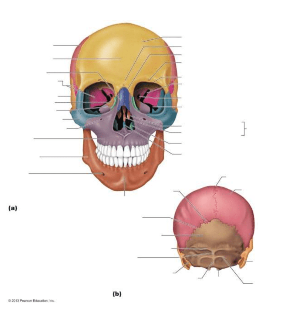 medium resolution of mrs nic honors anatomy and physiology the skull