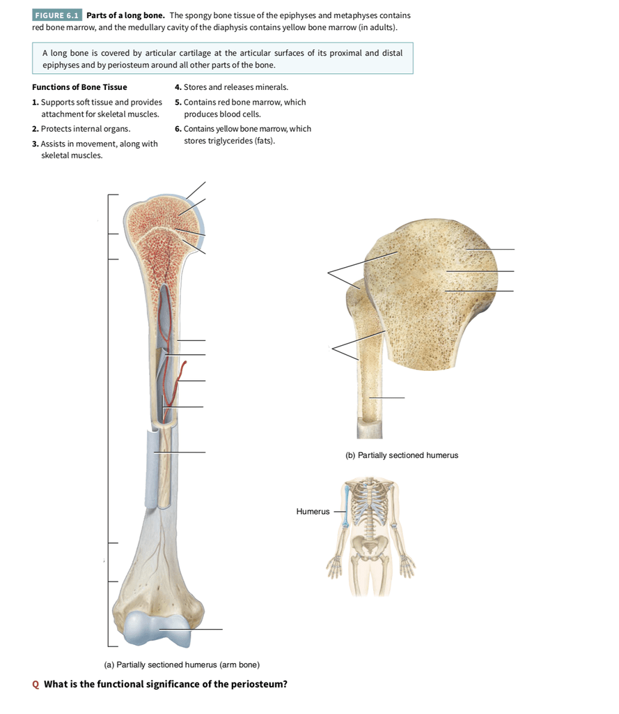 hight resolution of bone tissue function quizlet photos and wallpaper upaaragon co