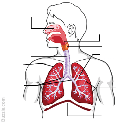 label the following diagram of respiratory system four blank fishbone template quizlet location
