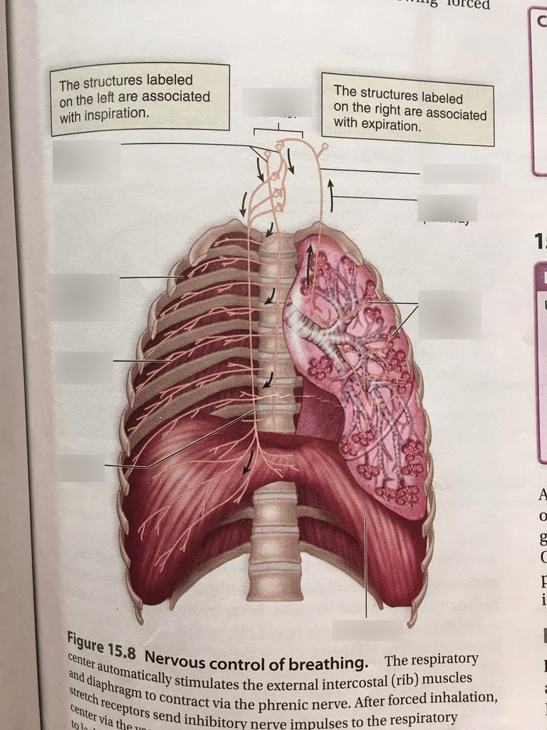hight resolution of nervous system diagram labeled quizlet trusted wiring diagram nervous system organs 15 2 nervous control of