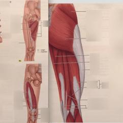 Upper Leg Muscles Diagram Hps Transformer Wiring Knes Quizlet Location
