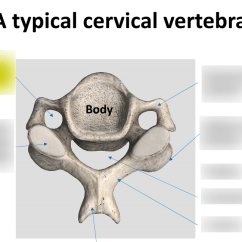 Cervical Vertebrae Diagram 2005 Vw Golf Stereo Wiring Typical Quizlet Location