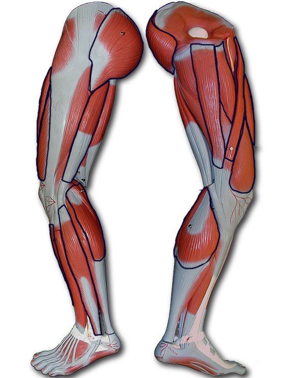 medial lower leg muscles diagram vw golf coil wiring diagrams thumbs quizlet