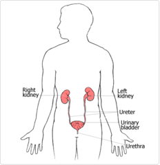 Anatomy Quiz 5B on Urinary and Reproductive System