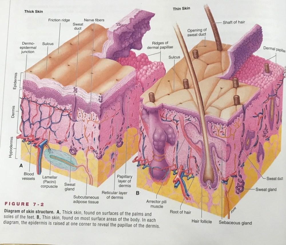 medium resolution of skin diagram