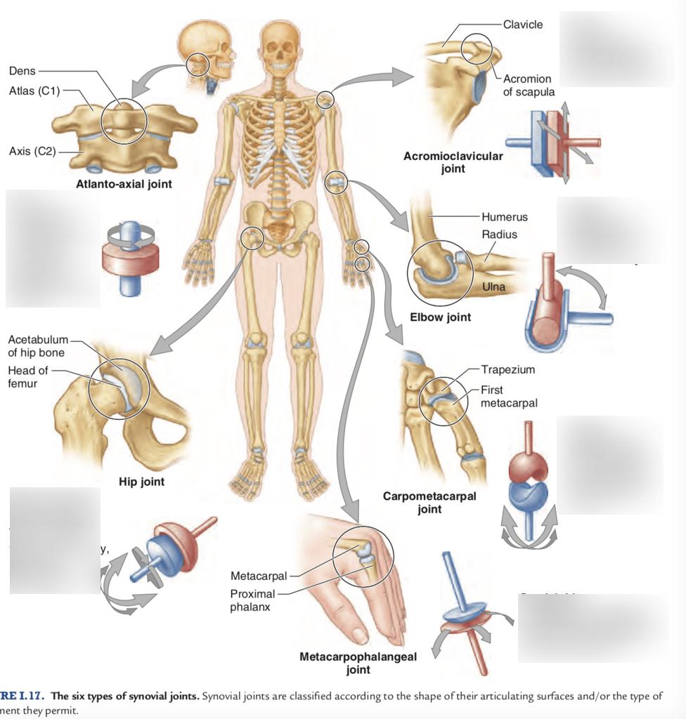 hight resolution of full body joint diagram
