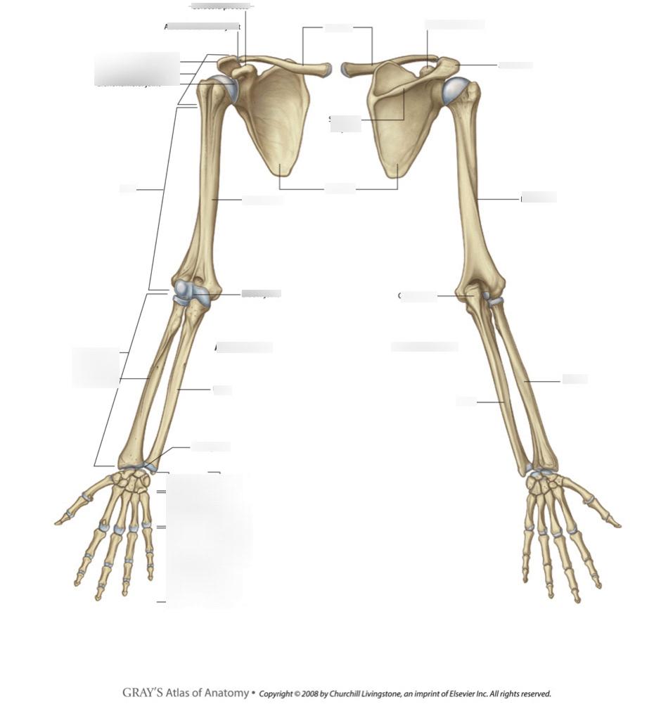 hight resolution of upper limb skeleton