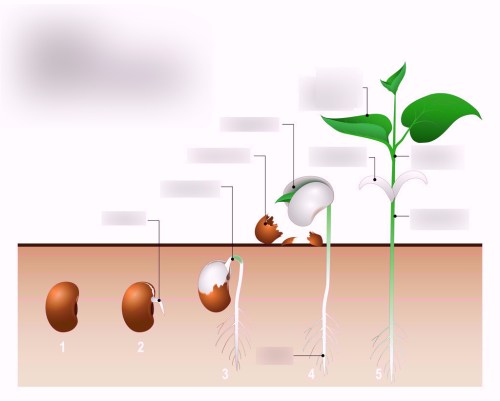 small resolution of plant seed germination diagram wiring diagram used plant seed germination diagram wiring diagram plant seed germination