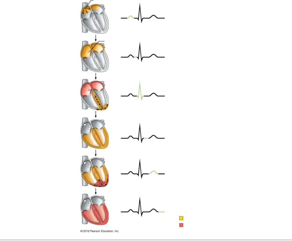labeled ekg diagram 3 way switch wiring 4 lights electrocardiogram ecg draw and label quizlet location