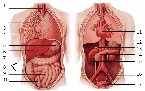 Major Organs Of The Human Body Diagram Diagram Quizlet