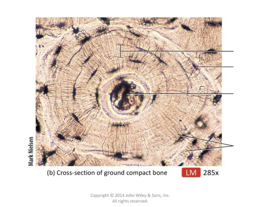 small resolution of fig 8 3 gross microscopic features of compact and spongy bone