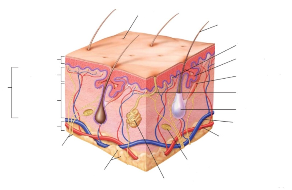 integumentary system diagram labeled 1955 chevy light switch wiring anatomy 3 2 epidermis labeling quizlet location