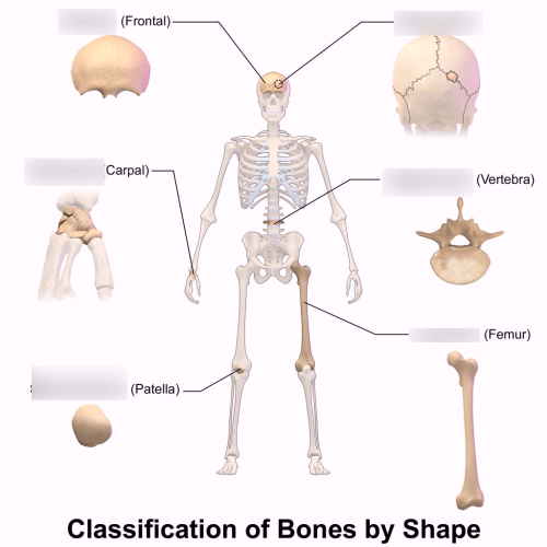 small resolution of bone shapes diagram quizlet heart diagram bone shape diagram