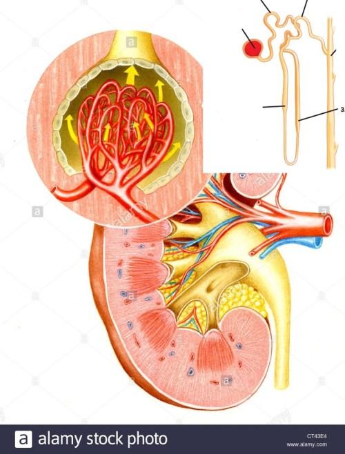 small resolution of biol 2320 quiz 5 bowel and kidney