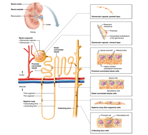 small resolution of nephrons structure and function