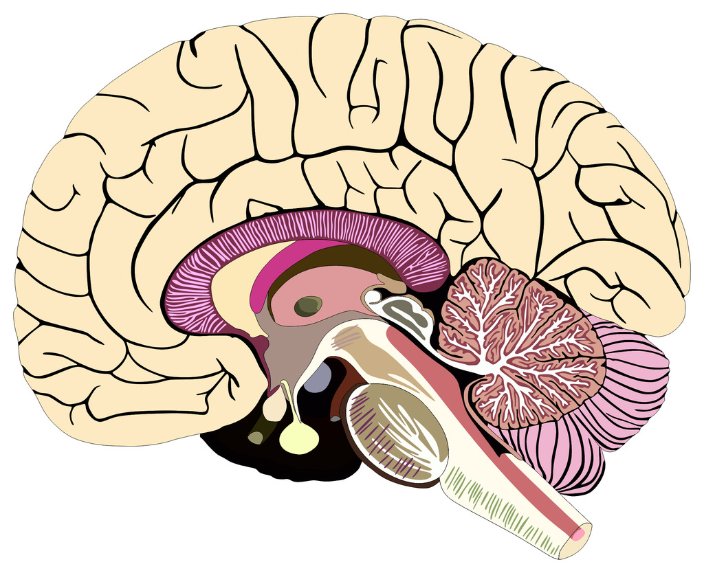 Nervous System Diagram Labeled Quizlet