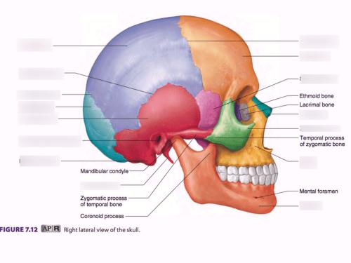 small resolution of axial skeleton skull part ii diagram quizlet axial skeleton skull diagram