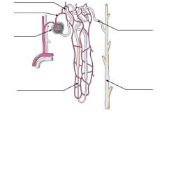nephron renal pelvis area [ 791 x 1024 Pixel ]