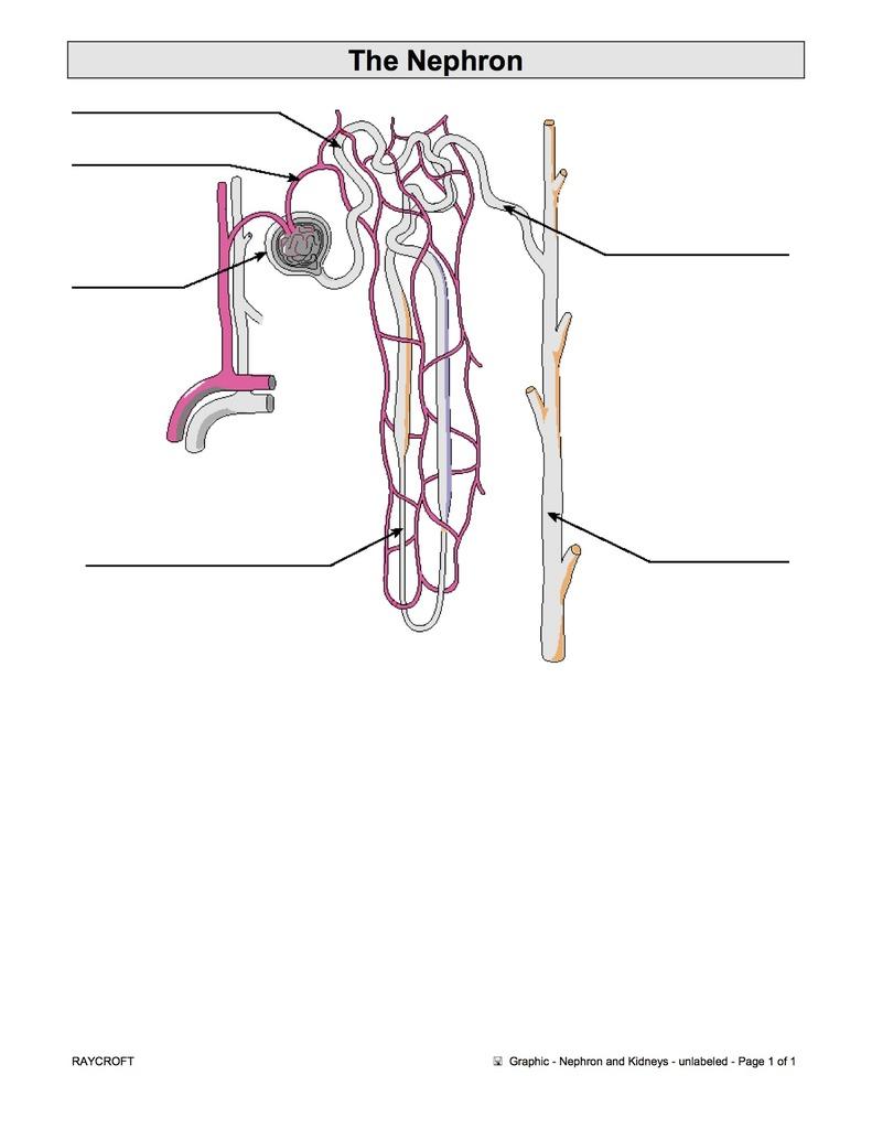 hight resolution of nephron renal pelvis area