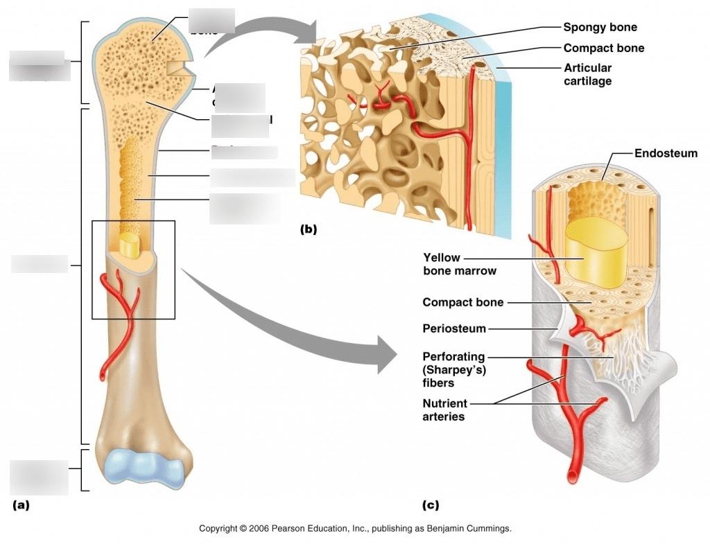 hight resolution of spongy bone diagram