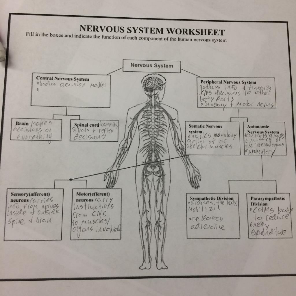 Nervous System Diagram Worksheet