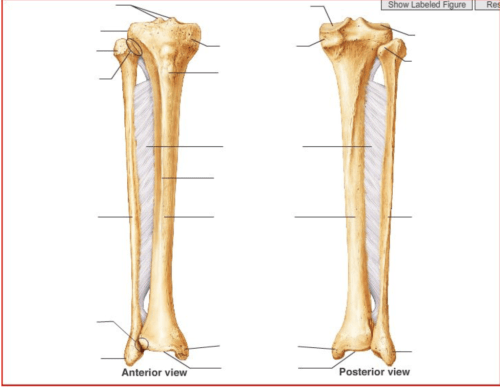 small resolution of tibia fibula diagram inside wiring diagrams schematicpatella tibia fibula diagram quizlet diagram of femur and tibia
