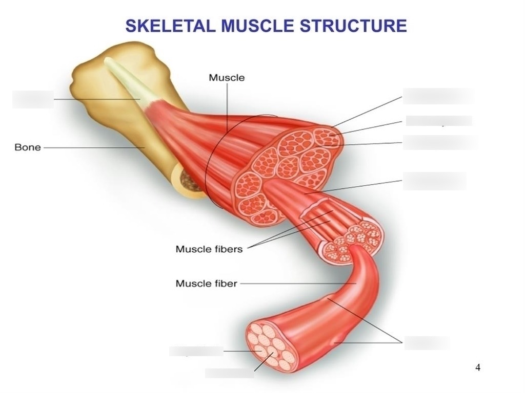 hight resolution of foot structure diagram