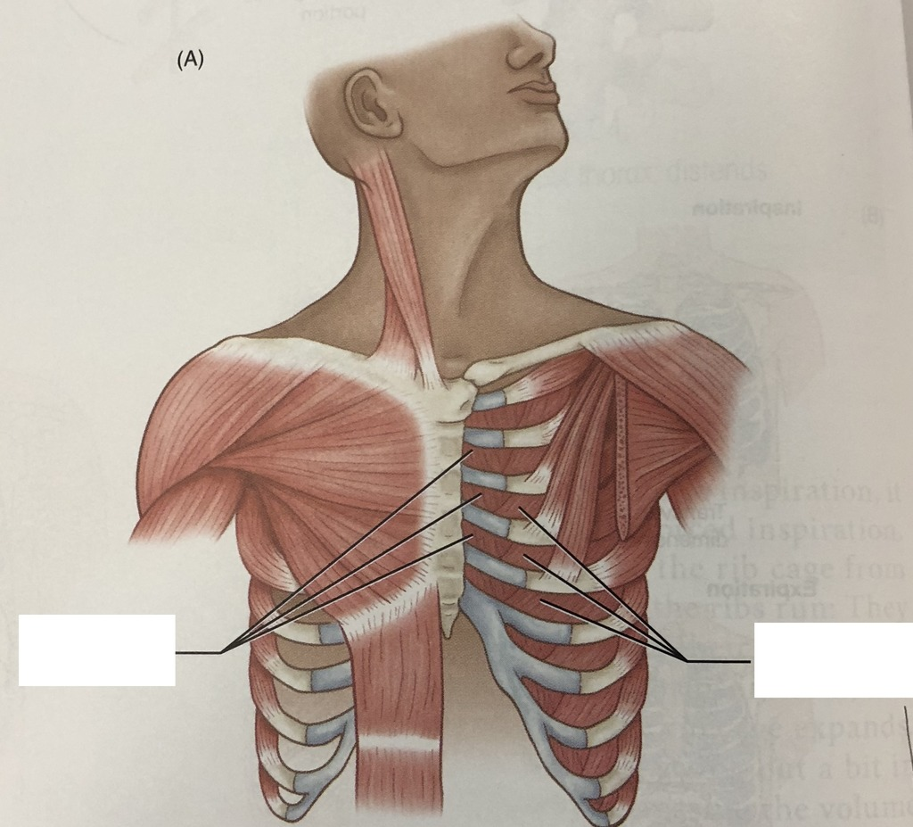 diagram of rib cage and muscles 2002 jeep wrangler 4 0 wiring cdis anatomy quizlet location