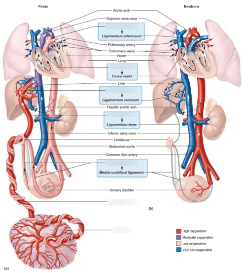 small resolution of fetal neck diagram
