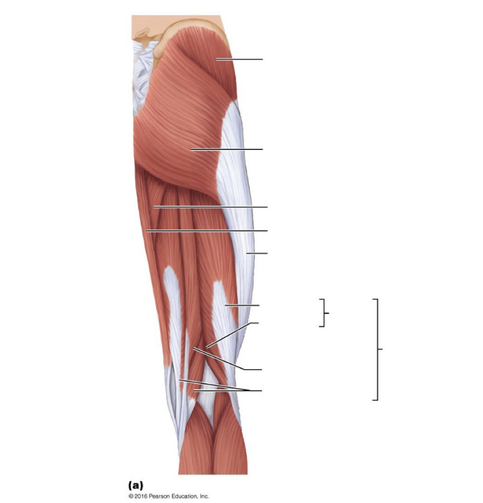 medium resolution of right thigh muscle diagram