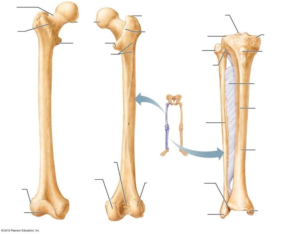 medium resolution of leg bone diagram