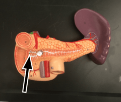 Digestive System Models - Practical 2 - Anatomy 111 Lab ...