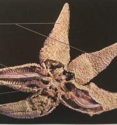 sea star aboral diagram [ 1024 x 781 Pixel ]