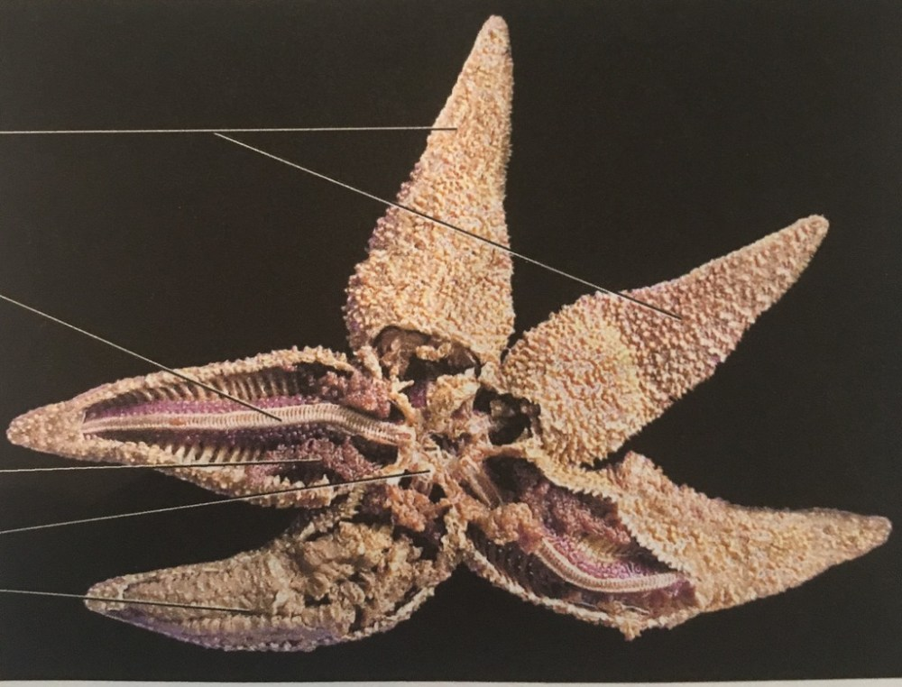 medium resolution of sea star aboral diagram