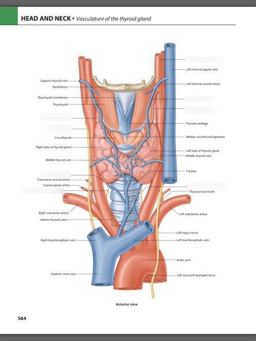 small resolution of diagram of the thyroid gland