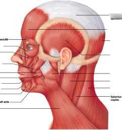 diagram of head and chest [ 1024 x 778 Pixel ]