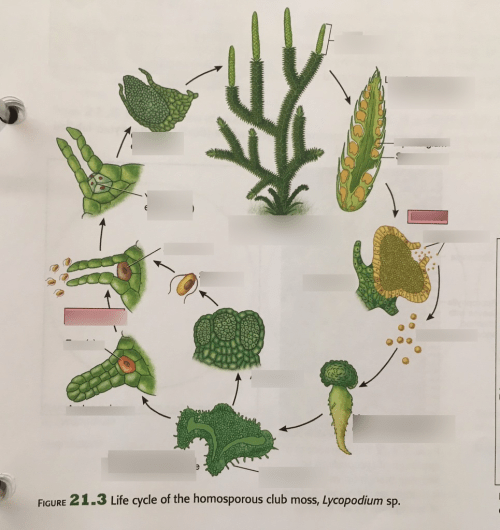 small resolution of phylum lycophyta club moss life cycle 21