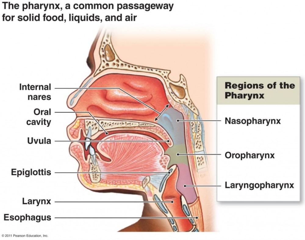 medium resolution of diagram oral cavity