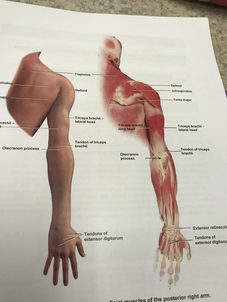 hight resolution of superficial muscles of the posterior right arm