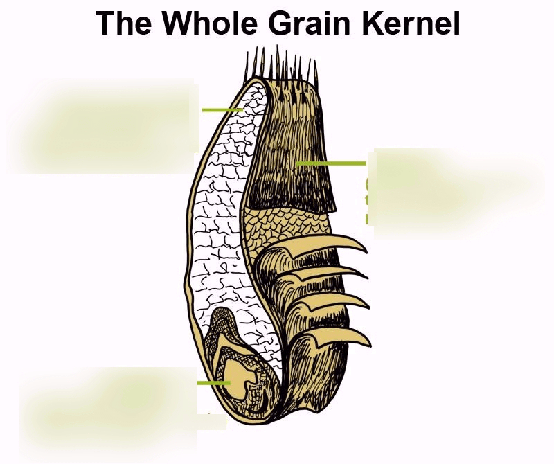 grain kernel diagram 9007 bulb wiring cereal grains pasta starches sauces quizlet location