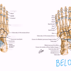Bones In Your Foot Diagram Dog Anatomy Lymph Nodes Of The Quizlet Location